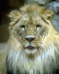 JPEG Lion Image